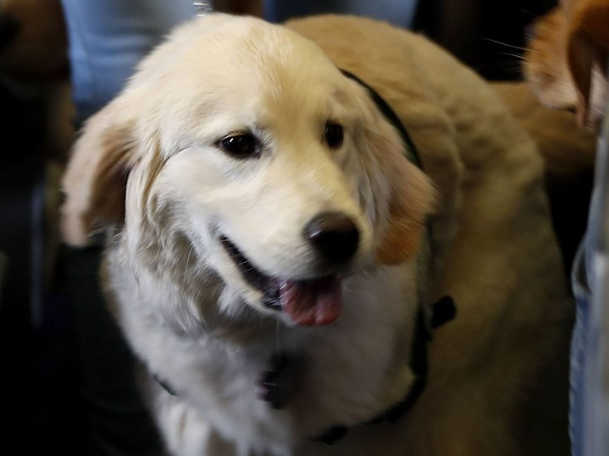 Image of: Sample United Airlines Tightens Rules On Emotional Support Animals On Flights Dailymotion United Airlines Tightens Rules On Emotional Support Animals On
